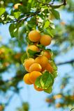 Cherry-plum tree with fruits Royalty Free Stock Photography