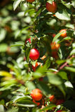Cherry-plum tree with fruits growing in the garden Stock Images