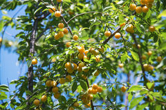 Cherry-plum tree with fruits growing in the garden Stock Photo
