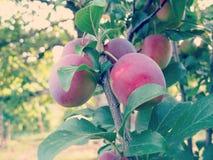 Cherry Plum on Tree Royalty Free Stock Photography