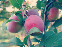 Cherry Plum on Tree. Cherry plum tree with fruits in orchard closeup royalty free stock images