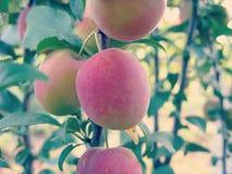 Cherry Plum on Tree Stock Photos