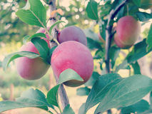 Cherry Plum on Tree Royalty Free Stock Image