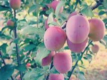 Cherry Plum on Tree Stock Photo