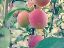 Cherry Plum on Tree Stock Images