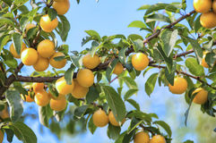 Cherry-plum tree with fruits Royalty Free Stock Photo