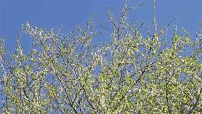 Cherry Plum Tree White Flowers Spring blomning stock video