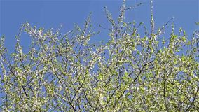 Cherry Plum Tree White Flowers Spring Blossom. Background stock video