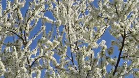 Cherry Plum Tree White Flowers Spring Blossom. Background stock video footage