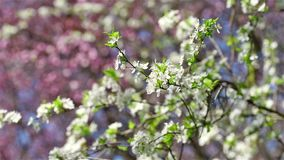 Cherry Plum Tree White Flowers Spring Blossom. Background stock footage
