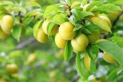 Cherry plum Stock Images