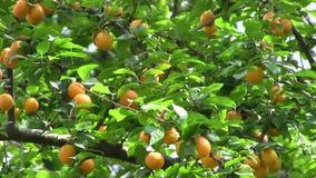 Cherry plum Stock Photos