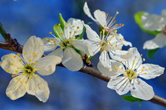 Spring flowers. Blue background. White cherry plum Royalty Free Stock Photography