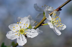 Spring flowers. Blue background. White cherry plum Stock Image