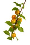 Cherry-plums Stock Image