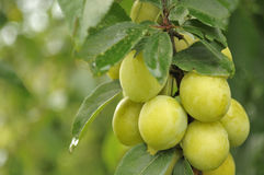 Cherry Plums on Branch Royalty Free Stock Photography