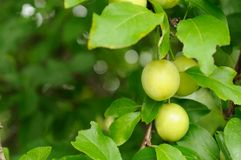 Cherry Plums on Branch Stock Photography