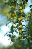Cherry Plums jaune sur la branche d'arbre Images libres de droits