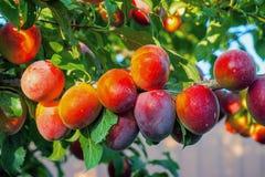 Cherry Plums op Tak Royalty-vrije Stock Fotografie