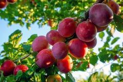 Cherry Plums op Tak Stock Foto