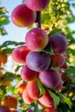Cherry Plums op Tak Stock Foto's