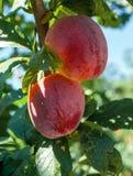 Cherry Plums op Tak Stock Fotografie