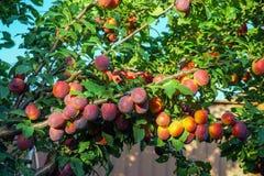 Cherry Plums op Tak Royalty-vrije Stock Afbeelding