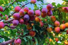 Cherry Plums op Tak Royalty-vrije Stock Afbeeldingen