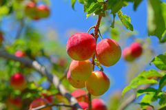 Cherry-plums on the plum tree Stock Images