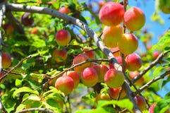 Cherry-plums on the plum tree Stock Image