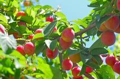 Cherry-plums on the plum tree. Delicious cherry-plums on the plum tree Royalty Free Stock Images