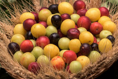 Cherry plums in a wooden basket Royalty Free Stock Photo