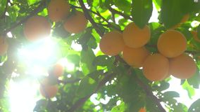 Cherry plums of yellow color. stock video footage