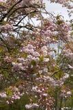 Cherry prunus in bloom Royalty Free Stock Images