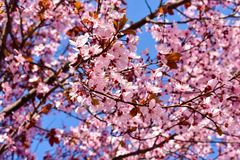 Cherry, Prunus cerasus blossom with pink flowers and some red leaves, Prunus Cerasifera Pissardii tree on a blue sky background in. Spring. Horizontal photo royalty free stock photo