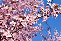 Cherry, Prunus cerasus blossom with pink flowers and some red leaves, Prunus Cerasifera Pissardii tree on a blue sky background in. Spring. Horizontal photo stock photography