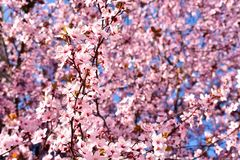 Cherry, Prunus cerasus blossom with pink flowers and some red leaves, Prunus Cerasifera Pissardii tree on a blue sky background in. Spring. Horizontal photo stock photo
