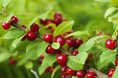Cherry Prunus tomentosa with red berrys. Stock Photos