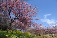 Cherry and blossoms. In full bloom stock images