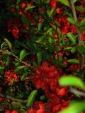 cherry-red-bush-flowers Royalty Free Stock Photography