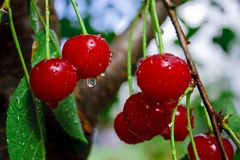 Cherry Stock Photo
