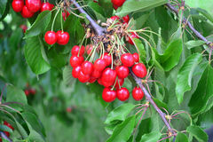 Cherry. Red fruits - Cherry tree in summertime Stock Photos