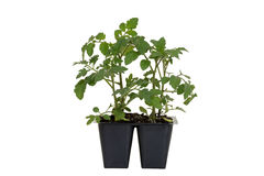 Cherry Red Hybrid Tomato Plant dans le plateau photo libre de droits