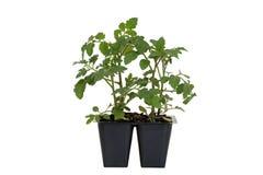Cherry Red Hybrid Tomato Plant en bandeja Foto de archivo libre de regalías