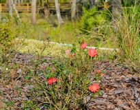 Cherry Red Knock Out Rose, Nocatee, St Johns County, Florida, USA.  royalty free stock photo