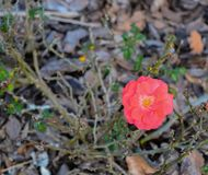 Cherry Red Knock Out Rose, Nocatee, St Johns County, Florida, USA.  stock photo