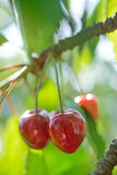 Cherry Royalty Free Stock Photo