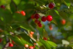 Cherry. Red cherry on tree closeup stock photos