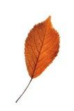 Cherry reddish leaf isolated on white. Beautiful textured cherry reddish leaf isolated on white Royalty Free Stock Photo