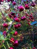 Cherry ripe. Stock Photos